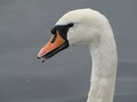 SX02816 Close up of swans head - Mute Swan [Cygnus Olor].jpg